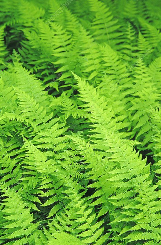 New York Ferns