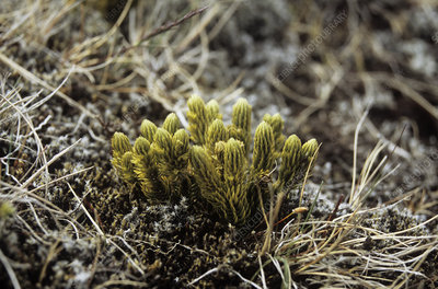 Northern firmoss (Huperzia selago)