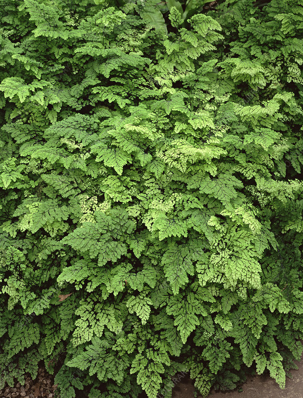 True maidenhair fern