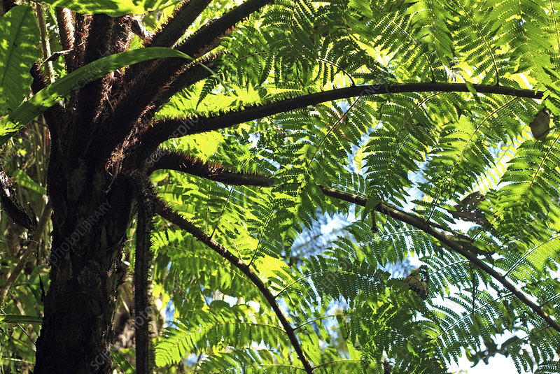 Soft tree fern (Dicksonia antarctica)