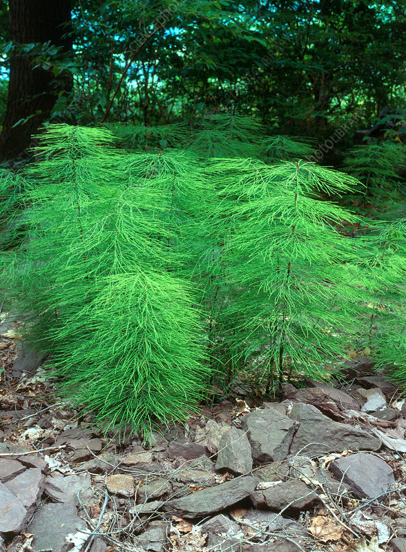 Meadow Horsetail