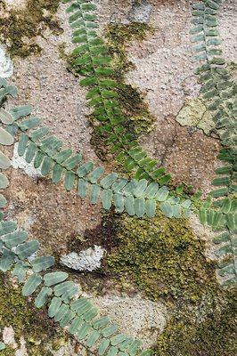 Ferns on a buttress root