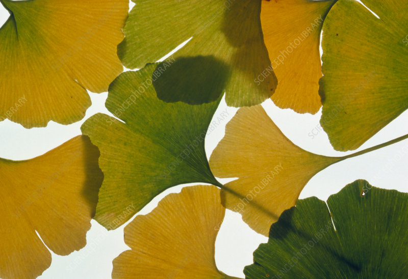 Maidenhair tree leaves in autumn colours.