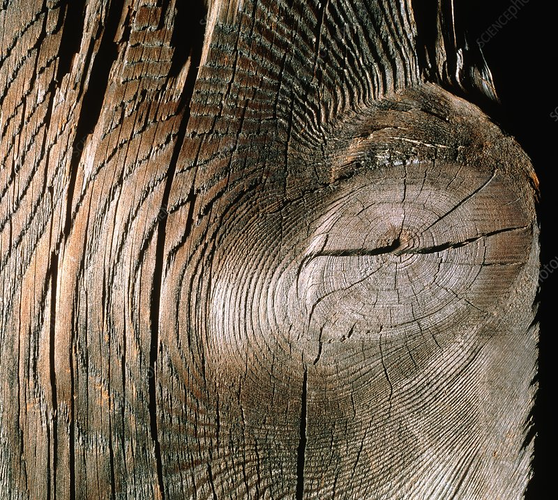Section of pine wood and growth rings