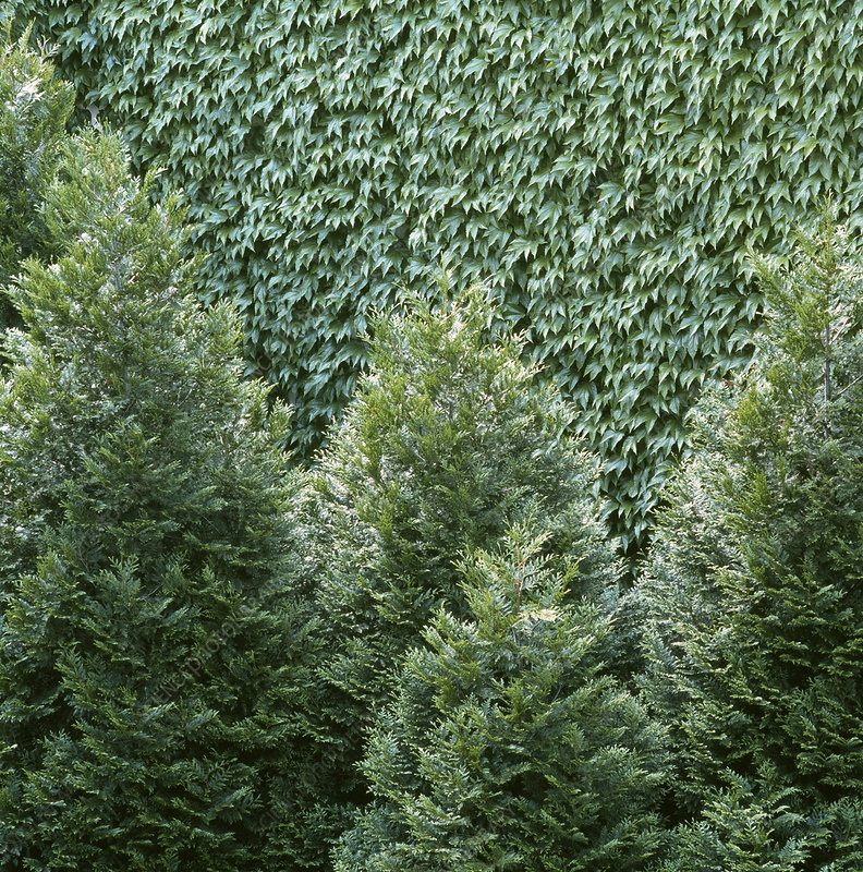 Conifers and ivy