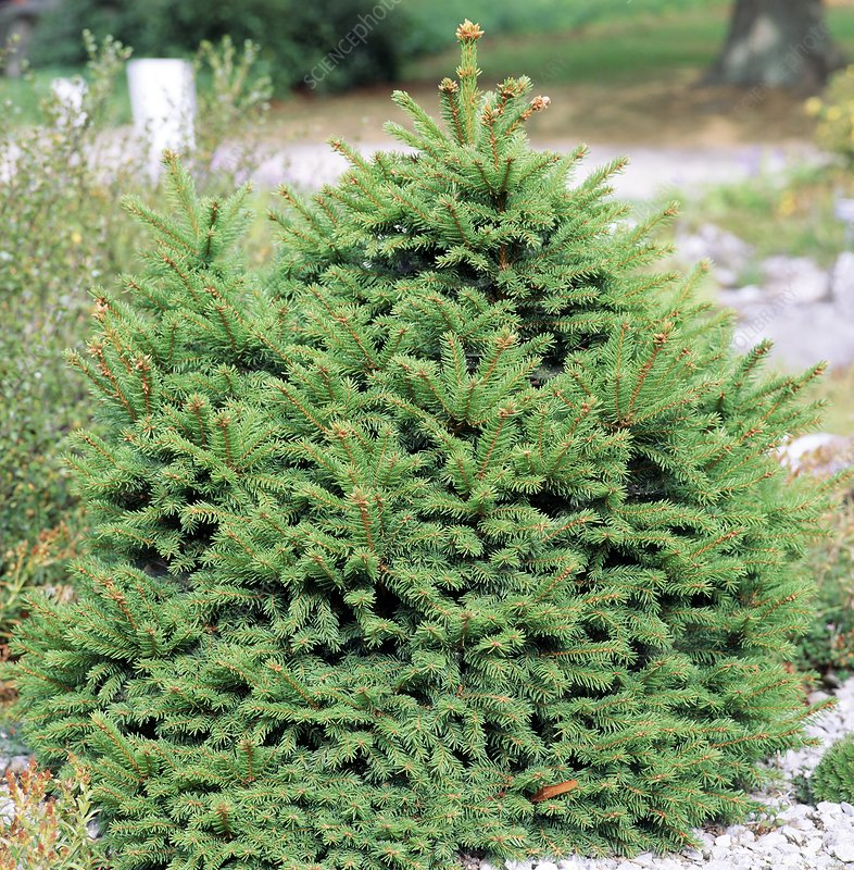 Young Norway spruce tree