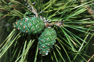 Japanese red pine tree cones