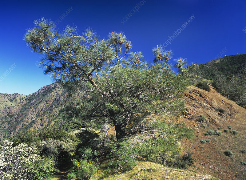 Coulter pine tree (Pinus coulteri)