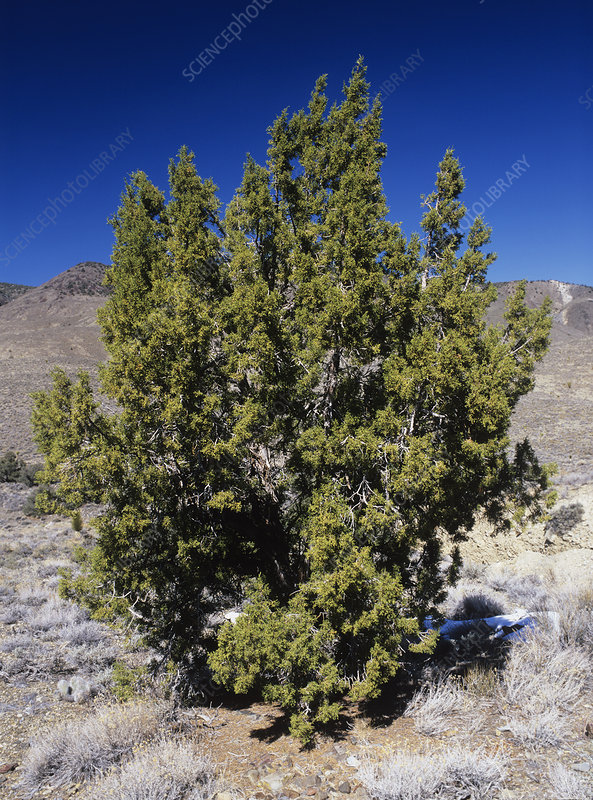 California juniper, Juniperus californica