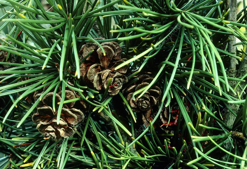 Cones of Japanese Umbrella pine