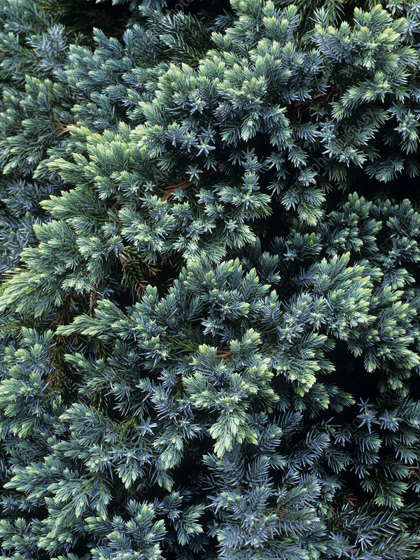 Juniperus squamata 'Blue Star' foliage