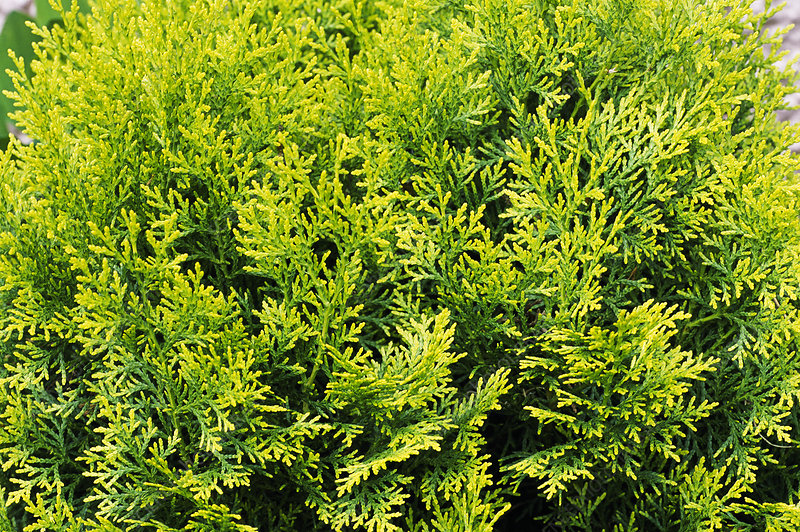 Hinoki false cypress 'Nana Aurea'
