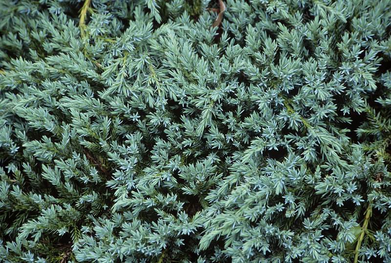 Juniper (Juniperus 'Blue Carpet')