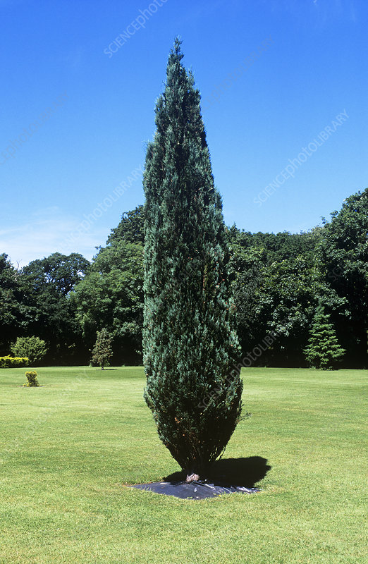 Lawson false cypress tree