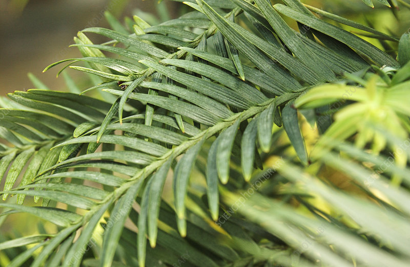 Wollemi pine (Wollemia nobilis)
