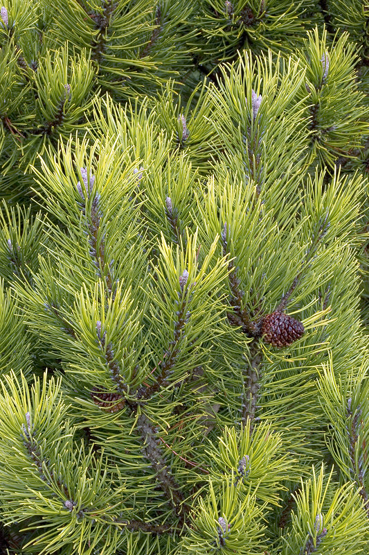 Mountain pine (Pinus mugo 'Winter Gold')