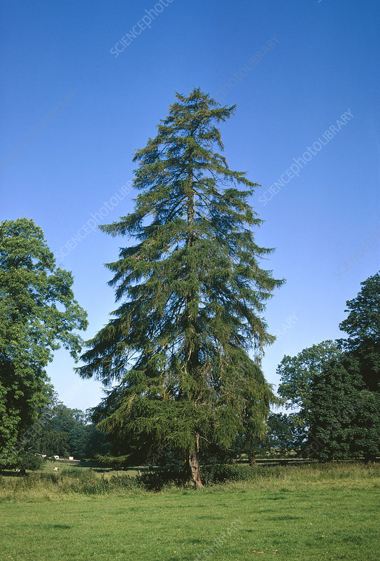 European larch tree
