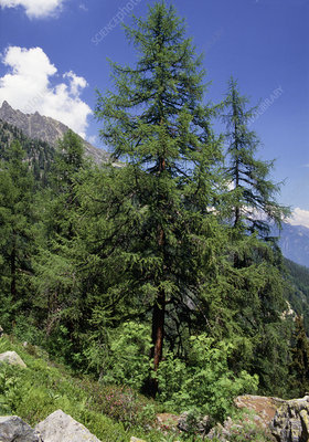 European larch trees