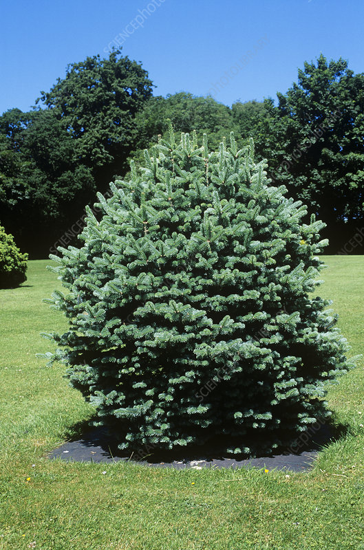 Balsam fir (Abies 'Compacta')