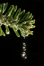 Water drops on a pine tree