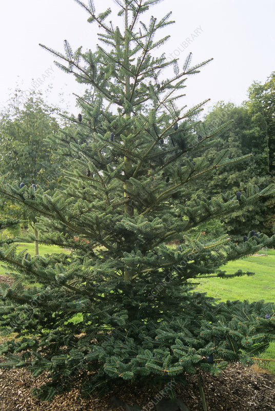 Bhutan fir (Abies densa)