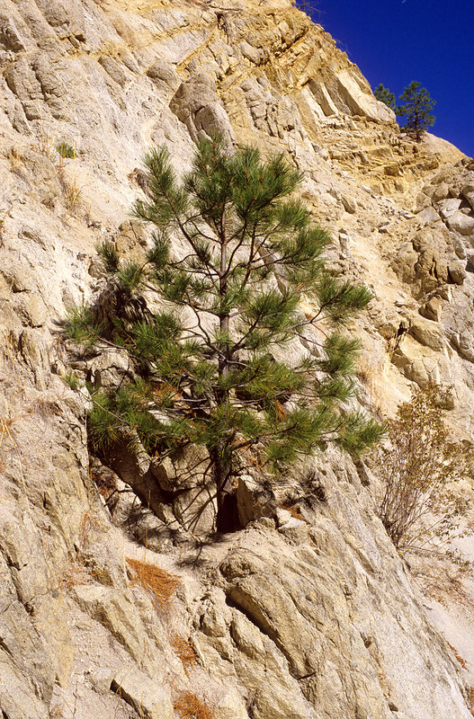 A Pine Tree Growing out of a Rock Cliff