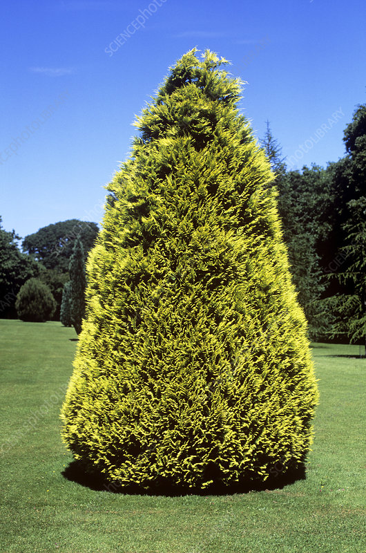 Lawson cypress (Chamaecyparis lawsonia)
