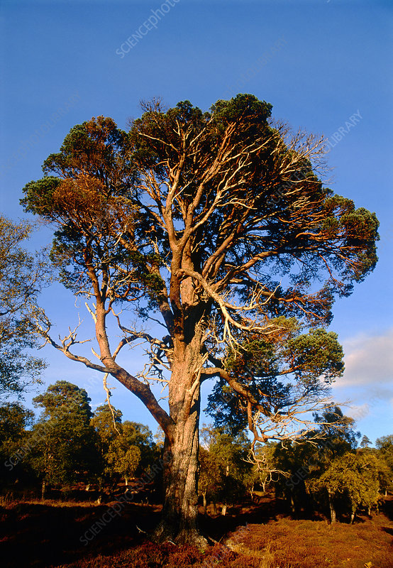 Old Scots Pine tree