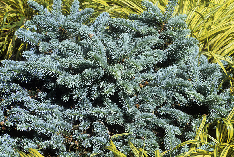 Blue spruce (Picea pungens 'Globosa')