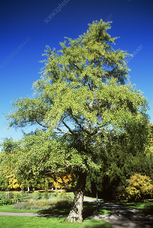 Maidenhair tree (Ginkgo biloba)