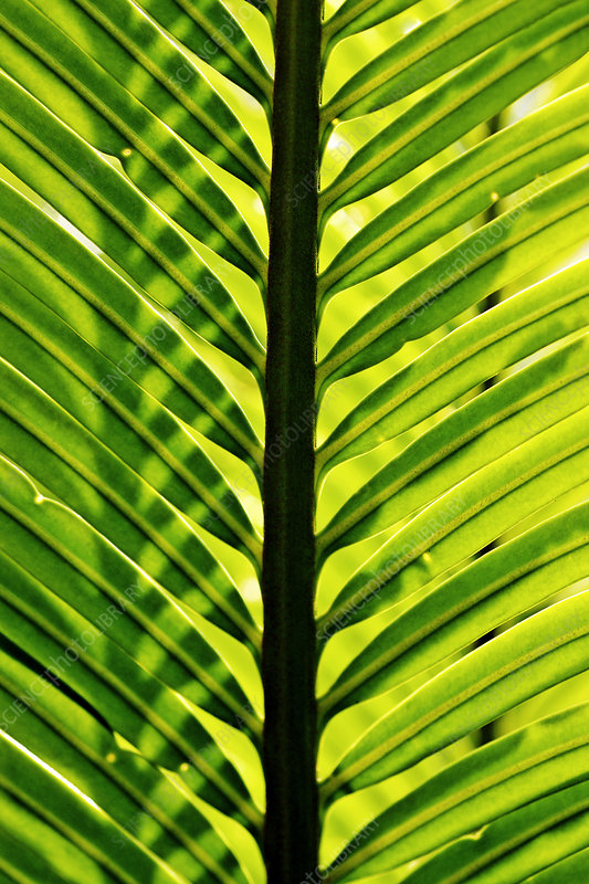 Pinnate cycad leaves