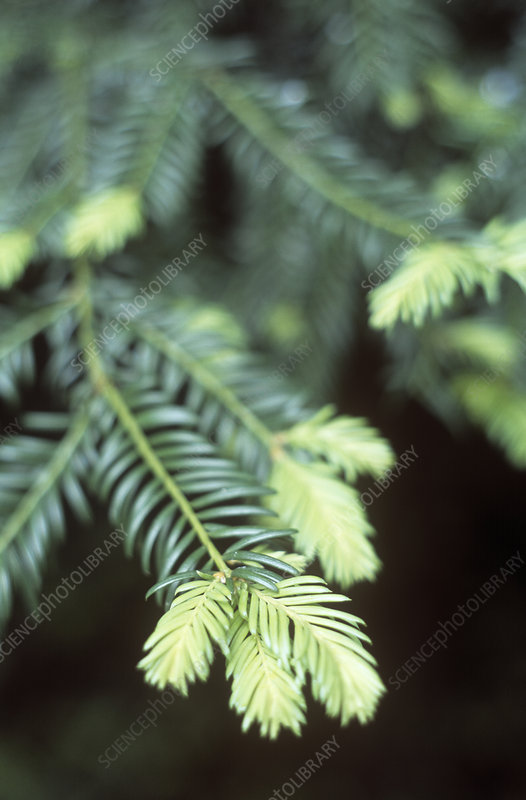 Yew leaves (Taxus baccata)
