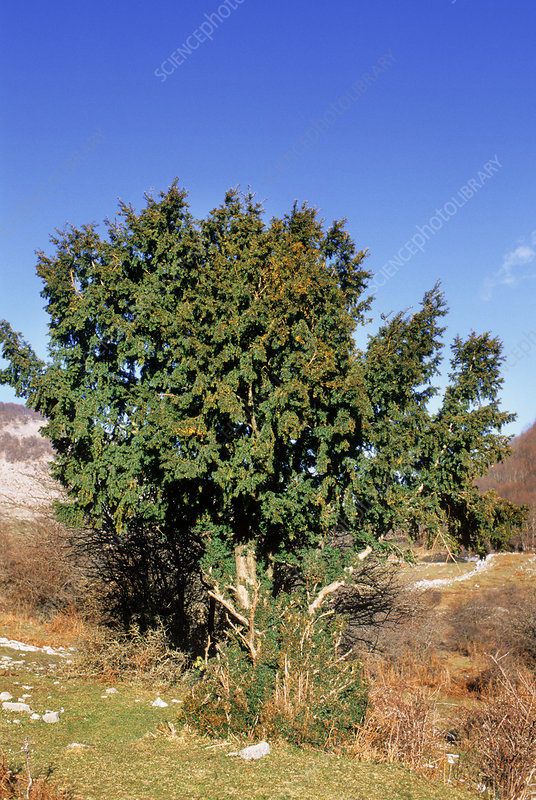 Yew tree (Taxus baccata)