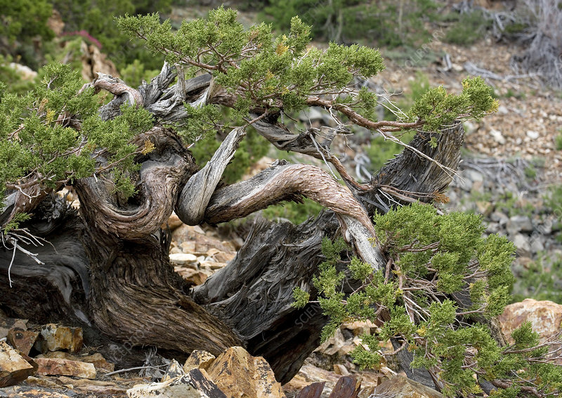 Western juniper (Juniperus occidentalis)