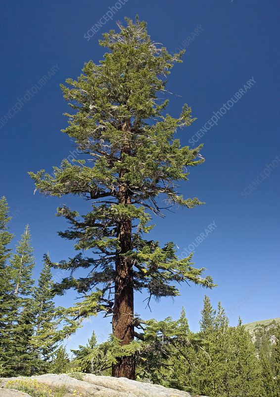 Red fir tree (Abies magnifica)