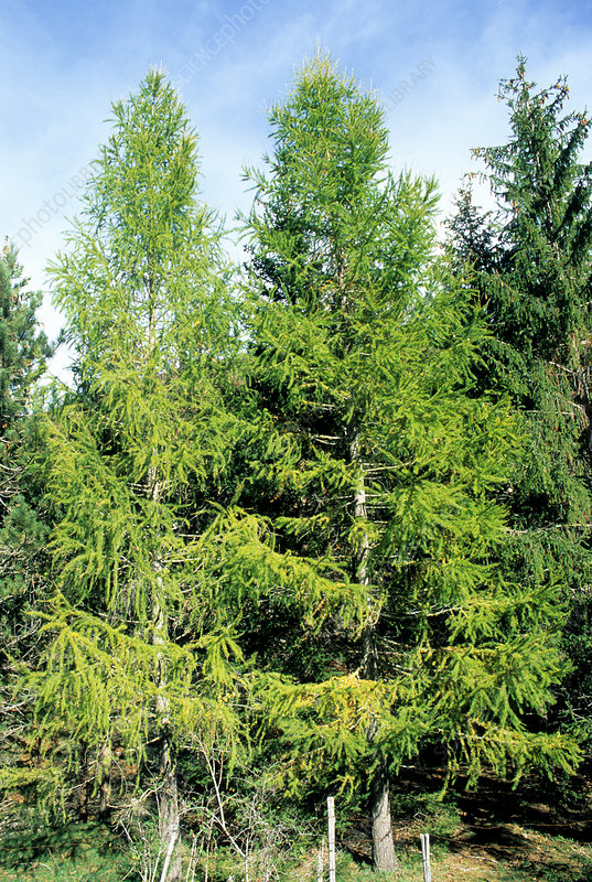 European larch trees (Larix decidua)