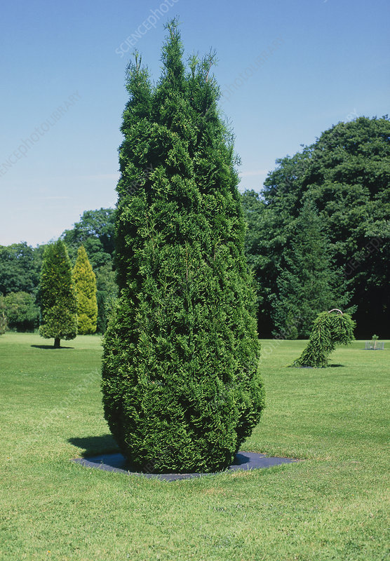 Arborvitae tree (Thuja occidentalis)