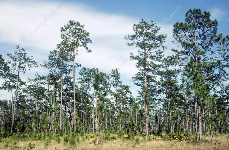 Longleaf Pines (Pinus palustris)
