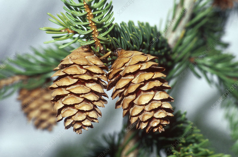 Red Spruce cones