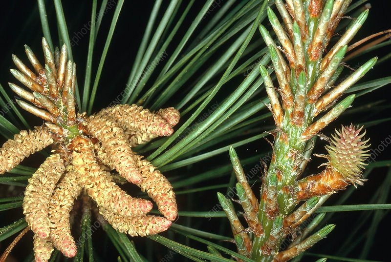 Male and Female Pine Cones