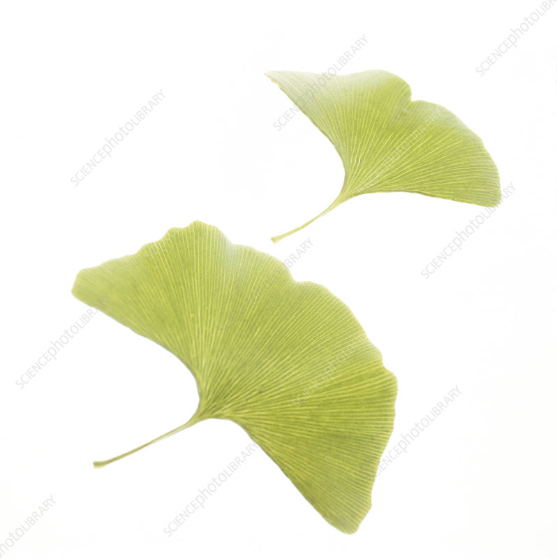 Maidenhair leaves (Ginkgo biloba)