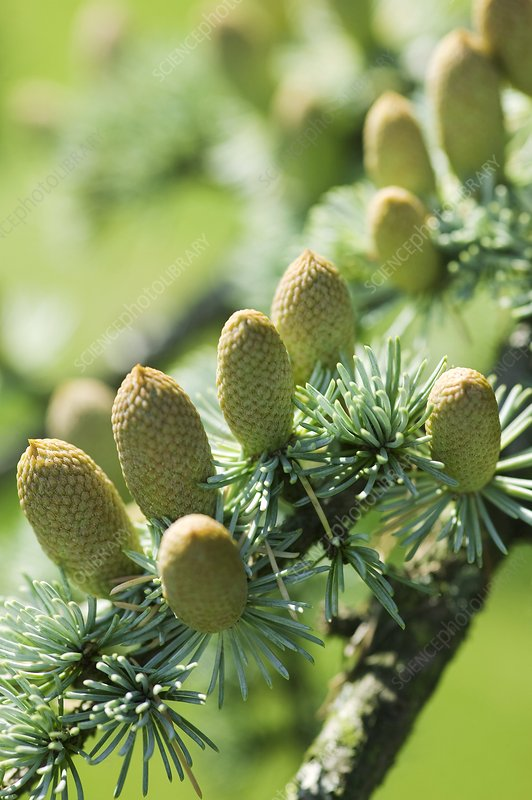 Male cedar cones (Cedrus sp.)