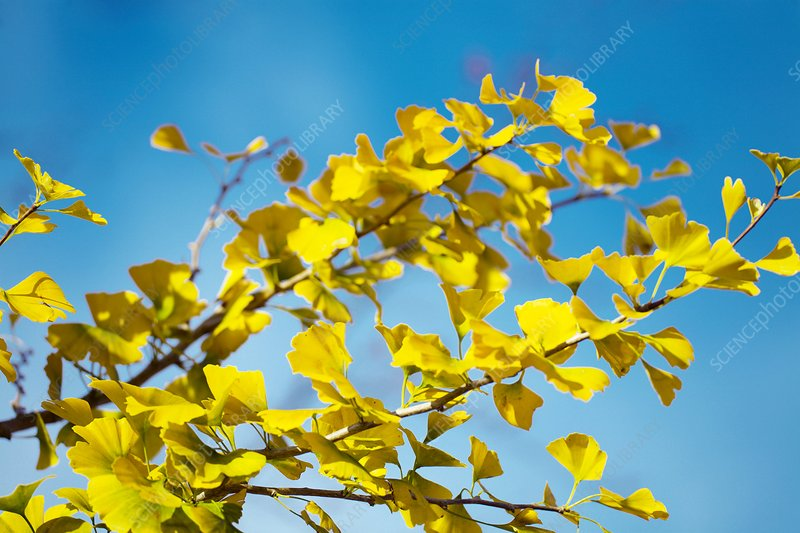 Maidenhair tree leaves (Ginkgo biloba)