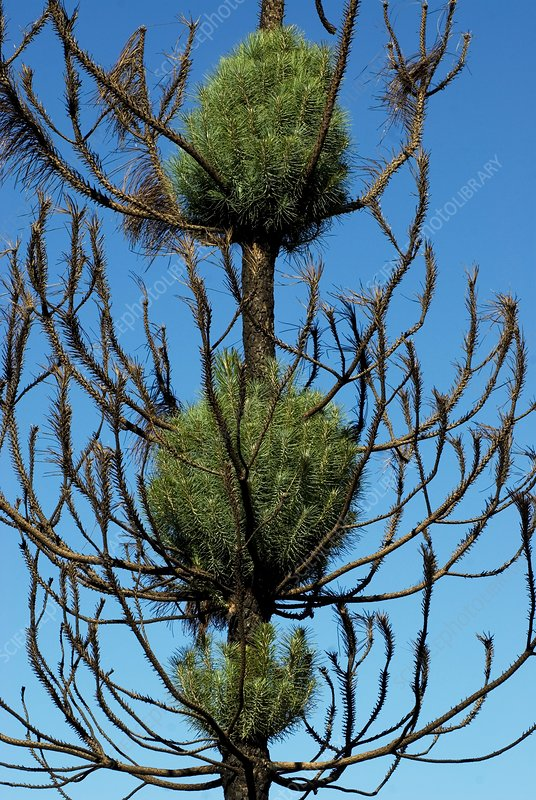Burnt pine tree resprouting