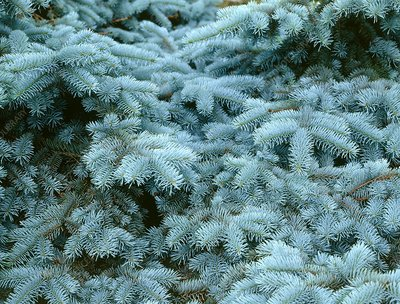 Blue spruce (Picea pungens 'Glauca')