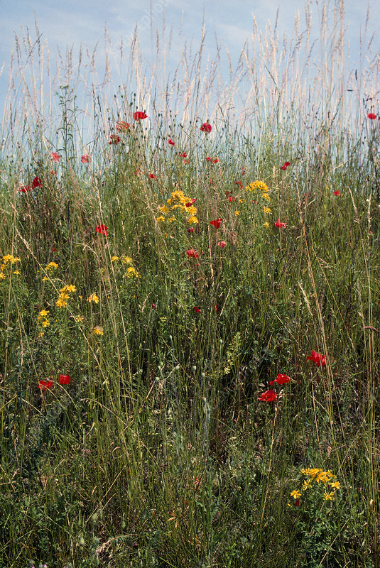 Wild flowers beside a road in France