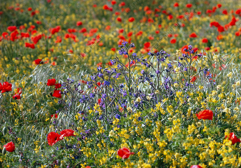 Field of wild Anchusa and Poppy flowers