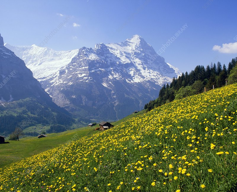 Flowering daisies in an Alpine Meadow