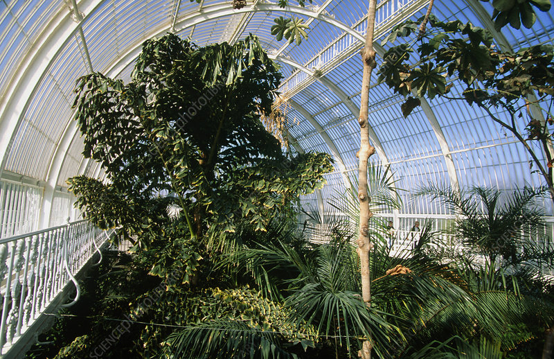 Trees in a glasshouse in Kew Gardens, UK
