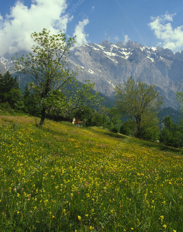 Flowers in an Alpine Meadow, Switzerland